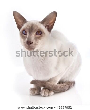 Liliowy punkt kotek biały zwierząt cute Zdjęcia stock © stevemc