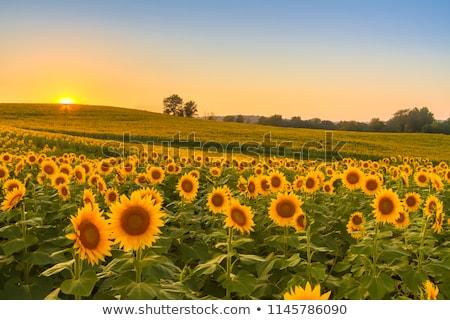Endless sunflower field Stock photo © nikitabuida