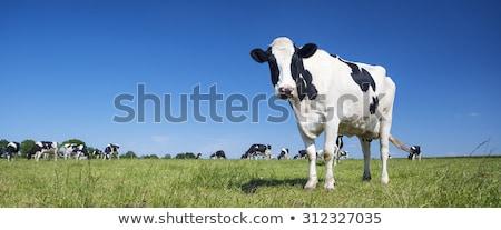 özenli · inekler · siyah · beyaz · alan · bahar · yüz - stok fotoğraf © alex_davydoff