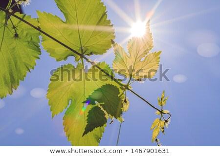 Sun through Hop Branch Stock photo © tepic