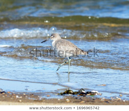 Willet with Winter Plumage stock photo © mikecharles