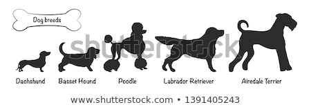 poodle · animal · animal · de · estimação · clip-art - foto stock © cteconsulting