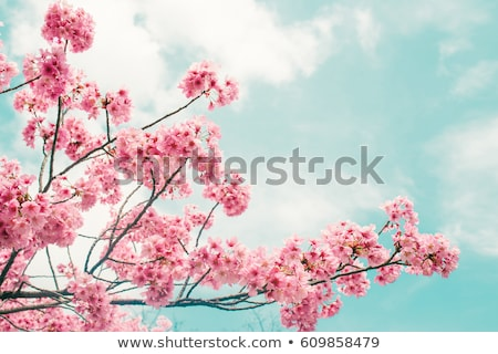 cherry blossom and blue sky in spring  Stock photo © juniart