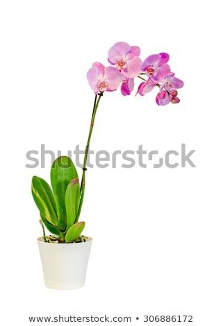 orchid es vase rose orchid e photo stock janniwet wangkiri scenery1 3262505. Black Bedroom Furniture Sets. Home Design Ideas