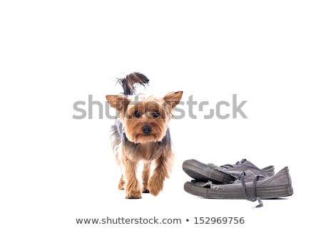 Pequeno yorkshire terrier mastigar velho sapatos Foto stock © fantasticrabbit