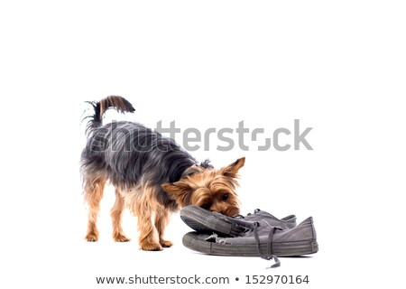 Little Yorkie chewing on old trainers Stock photo © fantasticrabbit