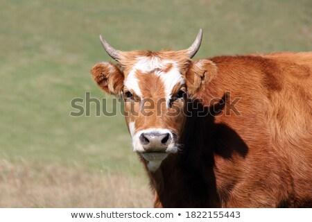 Curious bull stock photo © pressmaster