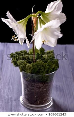 Closeup of white amaryllis flower on purple table Stock photo © phila54