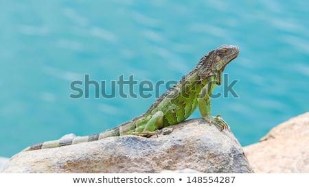 ストックフォト: Green Iguana Iguana Iguana Sitting On Rocks