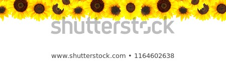 Sunflower Border Isolated on White stock photo © ambientideas