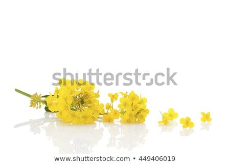 Flowers of colza Stock photo © xedos45