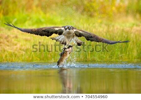 Osprey Catching Fish Stock photo © saddako2