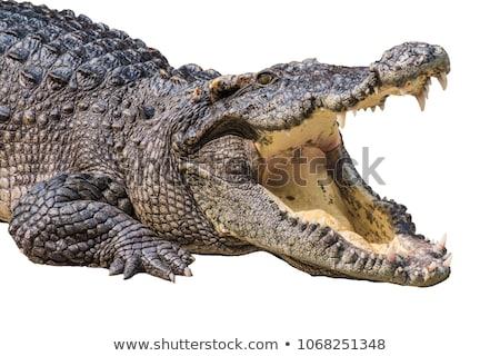 Portret groot krokodil water oog Stockfoto © OleksandrO