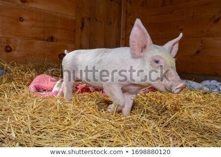 Сток-фото: свинья · см. · портфеля · больше · Cartoon