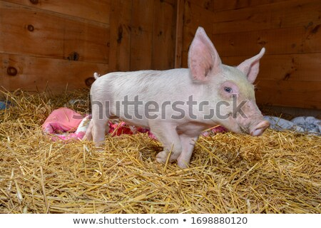 porc · voir · portefeuille · plus · cartoon - photo stock © artcreator