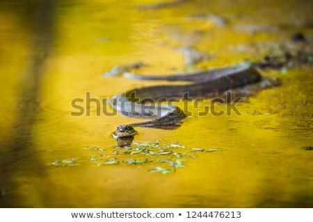 Su yılan yüzme gölet hayvanlar terazi Stok fotoğraf © brm1949
