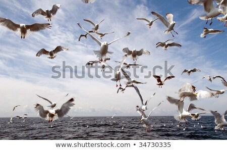 Чайки белый движения крыло Сток-фото © bmonteny