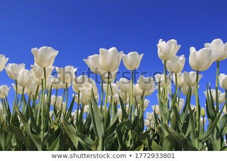 field of white tulips blooming stock photo © mikko