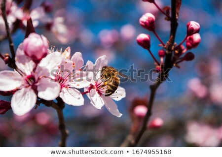 flying bee and pink cherry blossoms stock photo © manfredxy