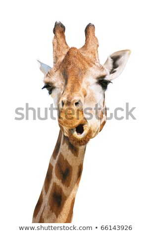 Giraffe head astounded look stock photo © DragonEye