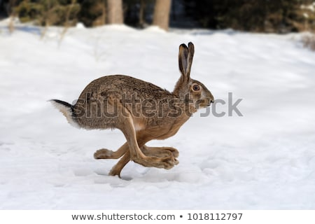 white hare running stock photo © lineartestpilot
