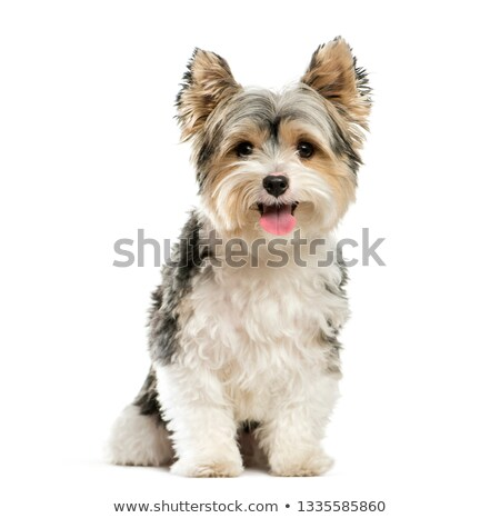 Yorkshire Terrier sitting in white studio background Stock photo © vauvau