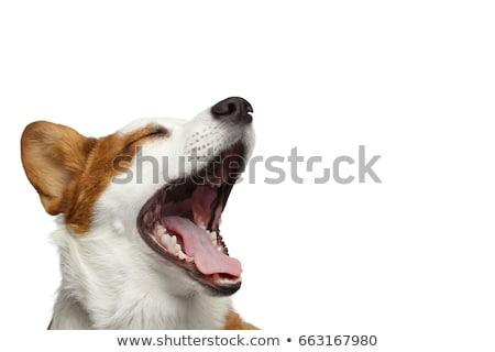 funny ears white dog open mouth portrait in white background Stock photo © vauvau