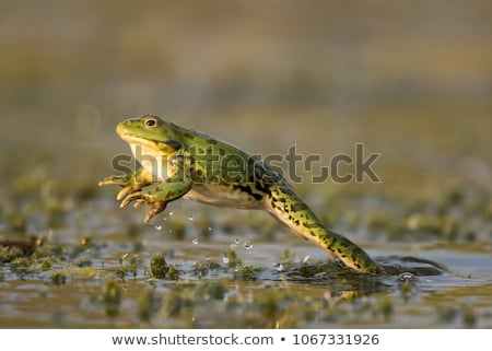 jumping frog Stock photo © cundm