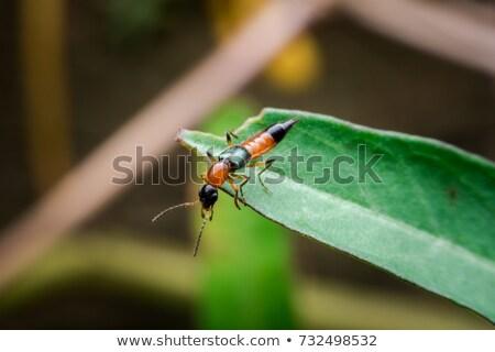 Rove beetles or paederus fuscipes  Stock photo © smuay