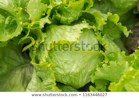 Gardener and lettuce green salad vegetable head in garden Stock photo © stevanovicigor