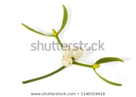 Mistletoe plants - Viscum album Stock photo © cynoclub