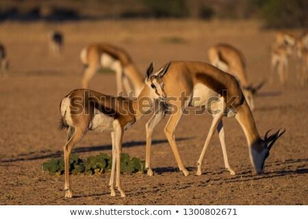 Baby Springbok looking back. Stock photo © simoneeman