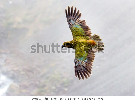 kea kea bird kea parrot rare bird rare animal vulnerable parrots parrot new zealand south i stock photo © dannyburn