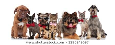 Pomeranian wearing a bowtie Stock photo © IS2