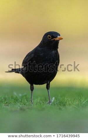 Melro belo luz jardim beleza pássaro Foto stock © taviphoto