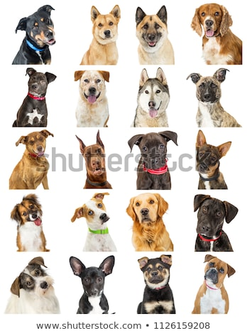 Set Heads of Dogs, Collection Different Breeds of Canines, Isolated on White Background Stock photo © smeagorl