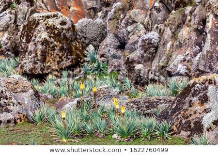 Kwiat bela góry Etiopia piękna żółty kwiat Zdjęcia stock © artush