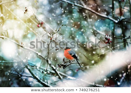 male of Common black bird in winter Stock photo © artush