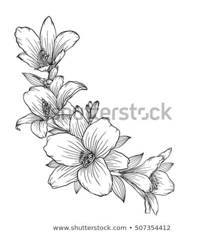 Kroki çiçekler zambak yalıtılmış beyaz vektör Stok fotoğraf © Arkadivna