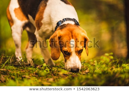 Hunter's dog in the woods Stock photo © lightpoet