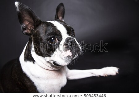 Boston Terrier Standing In Front Of Gray Background Zdjęcia stock © Lopolo