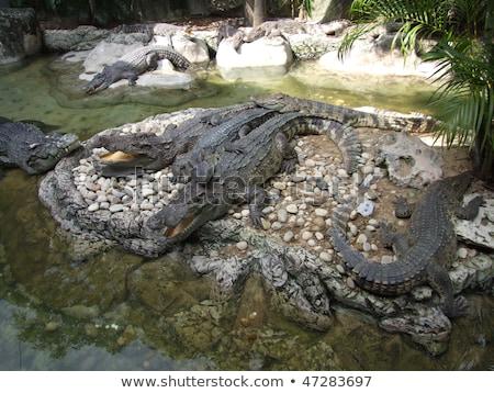 Krokodilok állatkert Bangkok szafari világ nyár Stock fotó © bloodua