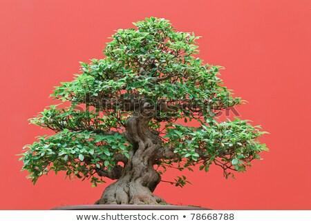 盆栽 高い 品質 赤 ツリー 自然 ストックフォト © Antonio-S