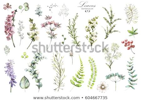 Green tropical herb Stock photo © RuslanOmega