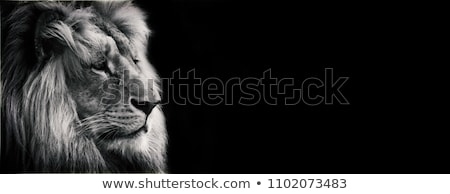 Sleeping White Lion Stock photo © mybaitshop