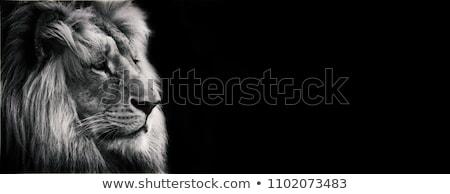 Sleeping White Lion Stock photo © mybaitshop