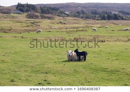 sheeps in scotisch landscape Stock photo © gewoldi