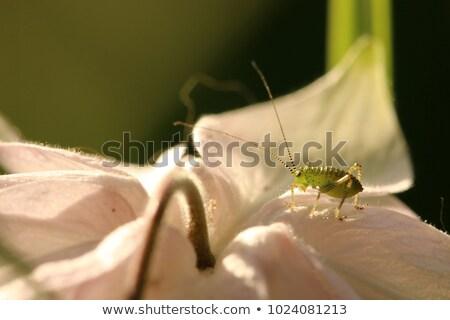Speckled Bush Cricket Stock photo © suerob