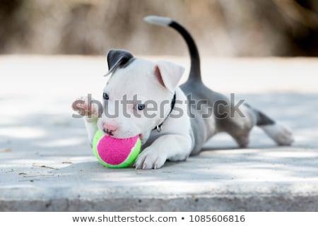 Pitbull kutyakölyök kutya fehér állat stúdió Stock fotó © eriklam