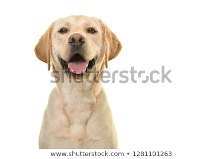 labrador · chiot · chien · patte - photo stock © feedough